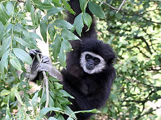 Gibbon im Salzburger Zoo. © Zoo Salzburg