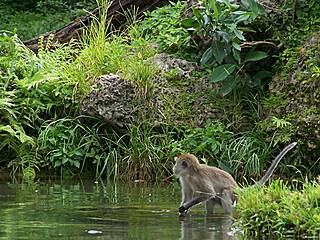 Affe im Monkey Jungle © osseous