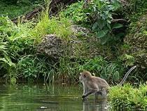 Affe im Monkey Jungle © osseous