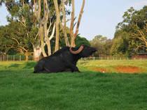 Wasserbüffel im Zoo Johannesburg © Bayhaus